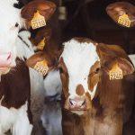 CBb: fosfaatrechten voor jongvleesvee geen onrechtmatige staatssteun